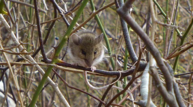 Little Mouse On The Trail At Wiley Park On Cape Cod