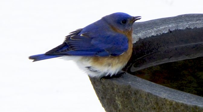 Beautiful Eastern Bluebirds At Our Feeder On Cape Cod