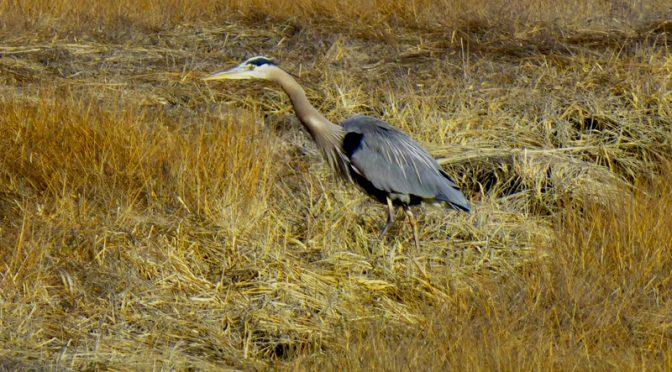 Great Blue Heron On Salt Pond Trail On Cape Cod