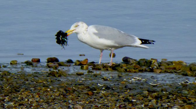 A Fresh Mussel Feast For this Hungry Seagull On The National Seashore On Cape Cod