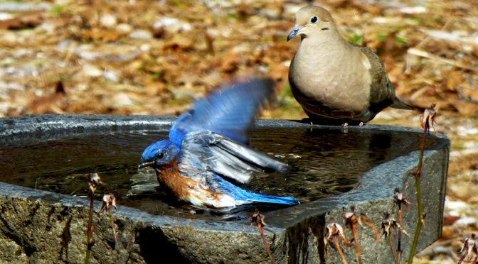 Adorable Eastern Bluebird Taking A Bath In Our Bird Bath On Cape Cod