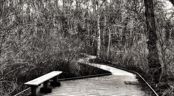 Red Maple Swamp Boardwalk At Fort Hill On Cape Cod In Black And White