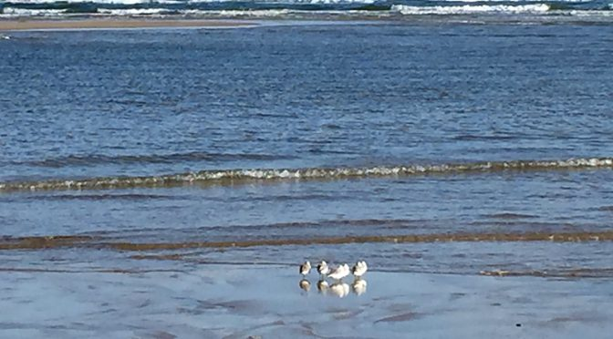 Sanderlings At Coast Guard Beach, On The National Seashore, On Cape Cod