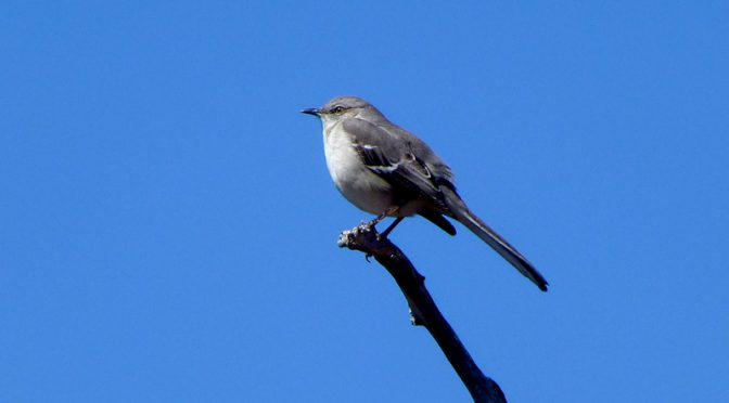 Beautiful Mockingbird Singing Away On Cape Cod