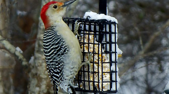 Red-Bellied Woodpecker On Our Suet On Cape Cod