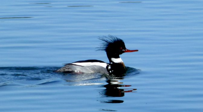 Beautiful Red-Breasted Merganser At Wiley Park On Cape Cod