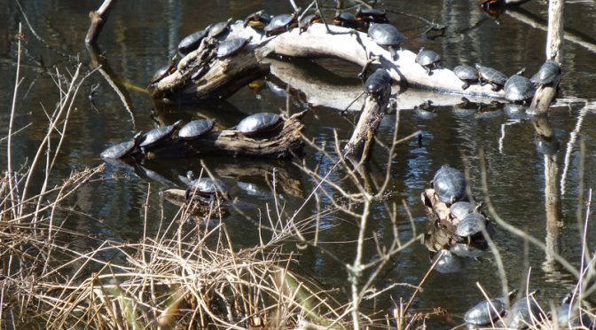 Lots Of Painted Turtles At The Wellfleet Bay Wildlife Sanctuary On Cape Cod
