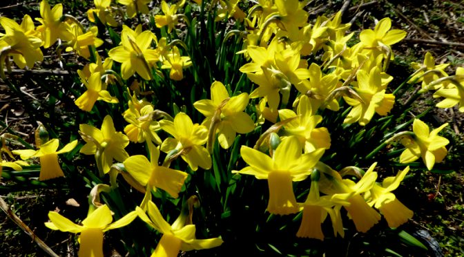 Daffodils For Easter On Cape Cod!