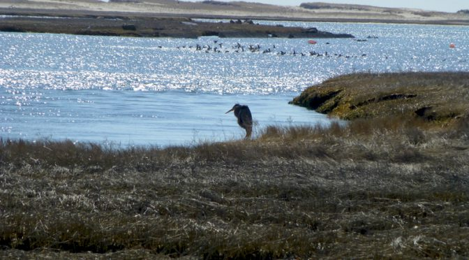 Great Blue Heron At Nauset Marsh On Cape Cod