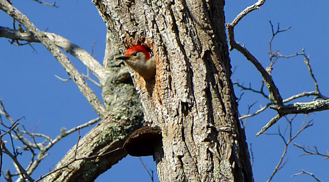 Red-Bellied Woodpecker In Her Nest At The Wellfleet Bay Wildlife Sanctuary On Cape Cod