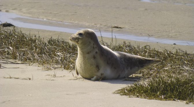 A Seal At Morris Island In Chatham On Cape Cod