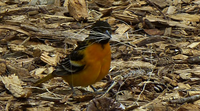 Baltimore Orioles Building Their Intricate Nests On Cape Cod