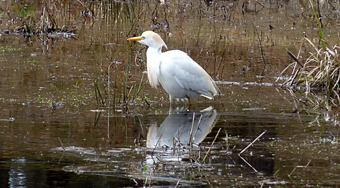 Rare Cattle Egret In Eastham On Cape Cod