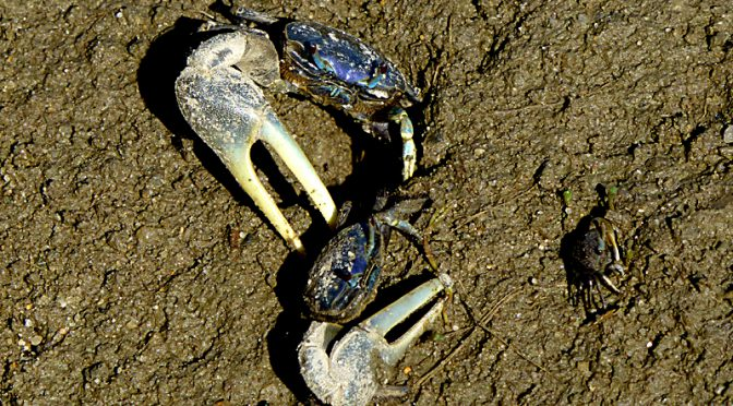 Lots Of Fiddler Crabs At The Wellfleet Bay Wildlife Sanctuary On Cape Cod