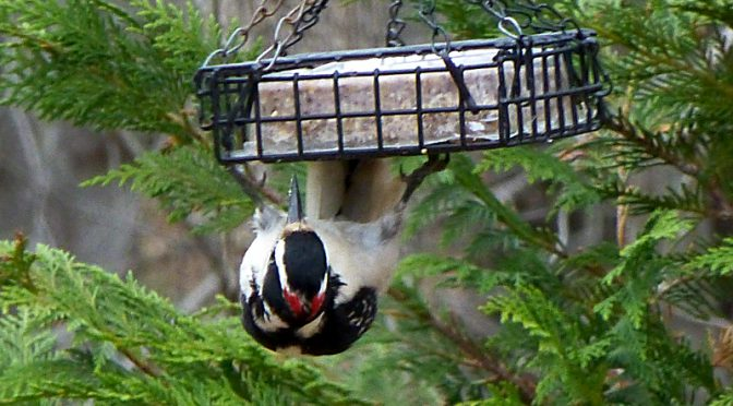 Hairy Woodpecker On Our Suet Here On Cape Cod