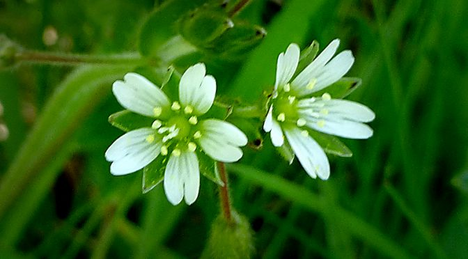 Pretty White Mouse-Ear Chickweed Wildflower At Fort Hill On Cape Cod