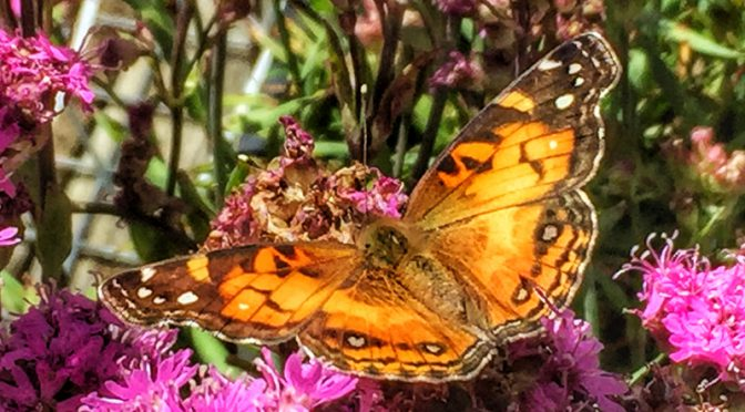The Painted Lady Butterflies Are Back On Cape Cod