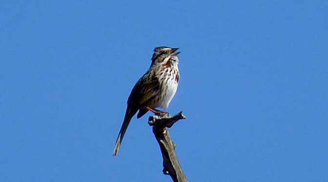 Song Sparrow Singing Away At Fort Hill On Cape Cod
