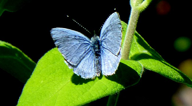 Pretty Blue Spring Azure Butterfly At Fort Hill On Cape Cod
