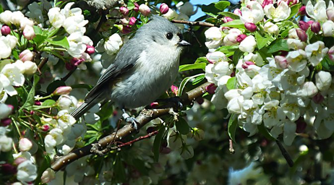 Adorable Tufted Titmouse At The Wellfleet Bay Wildlife Sanctuary On Cape Cod
