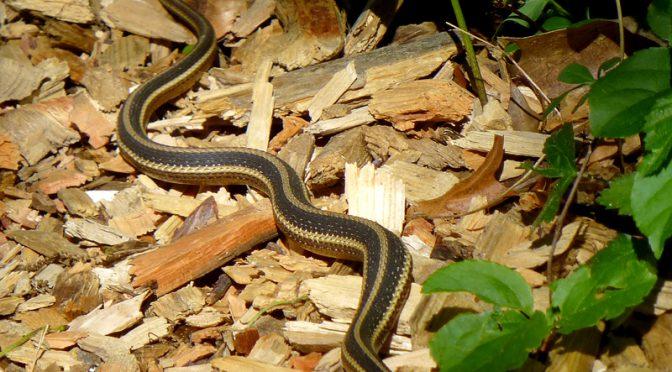 Eastern Ribbon Snake At The Wellfleet Bay Wildlife Sanctuary