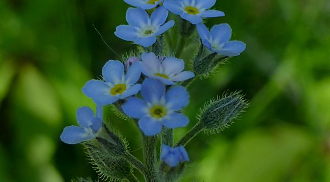 Pretty Blue Forget-Me-Not Wildflowers On Cape Cod