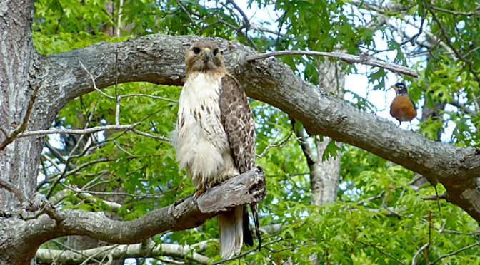 Red-Tailed Hawk In Our Yard On Cape Cod