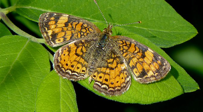 Orange And Black Pearl Crescent Butterfly On Cape Cod