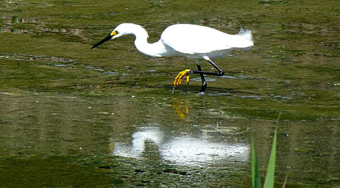 Snowy Egret At The Wellfleet Bay Wildlife Sanctuary On Cape Cod