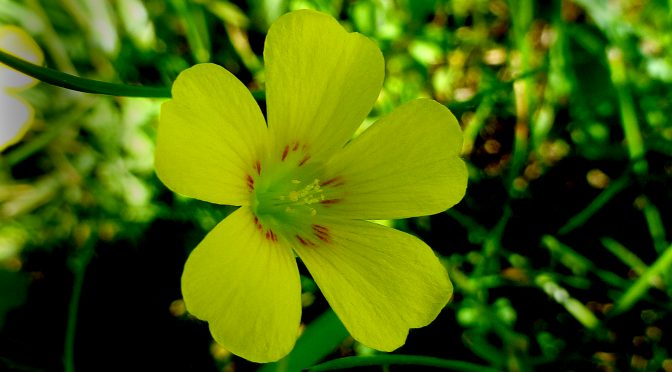 Yellow Wood Sorrel Wildflower Is Native To Cape Cod