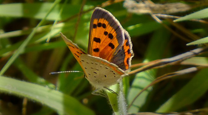 American Copper Butterfly At Fort Hill On Cape Cod