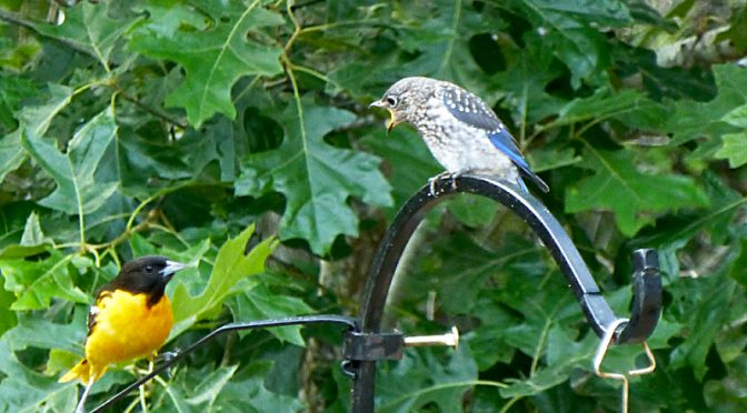 Baby Bluebird Feeding In Our Yard On Cape Cod