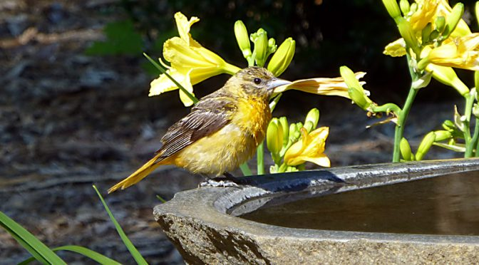 Baby Baltimore Oriole In The Bird Bath On Cape Cod