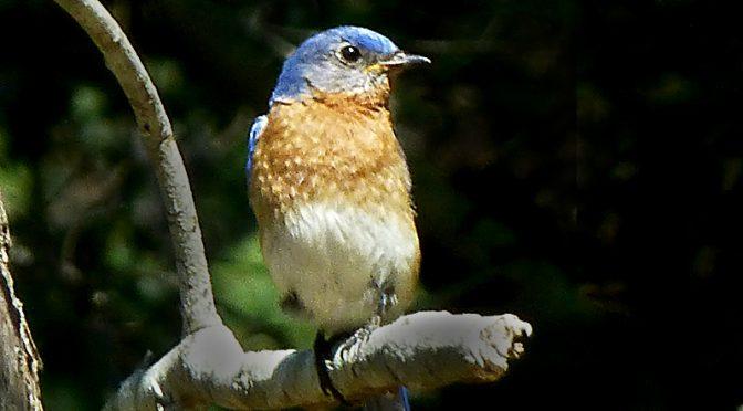 Beautiful Bluebirds On Cape Cod