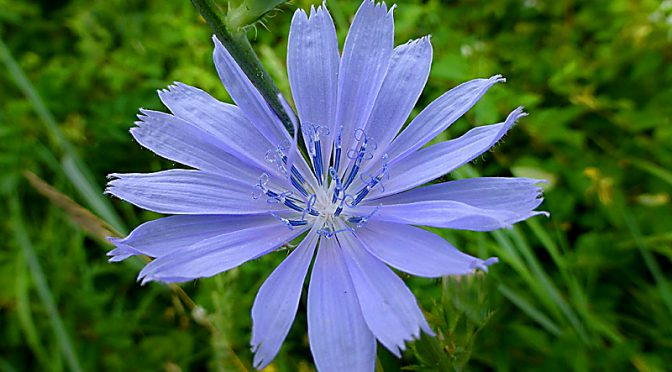 Pretty Blue Chicory Wildflowers At Fort Hill On Cape Cod
