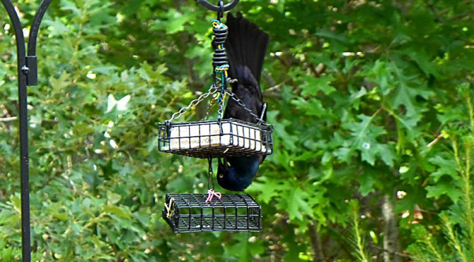 Contortionist Grackle At Our Suet Feeder On Cape Cod