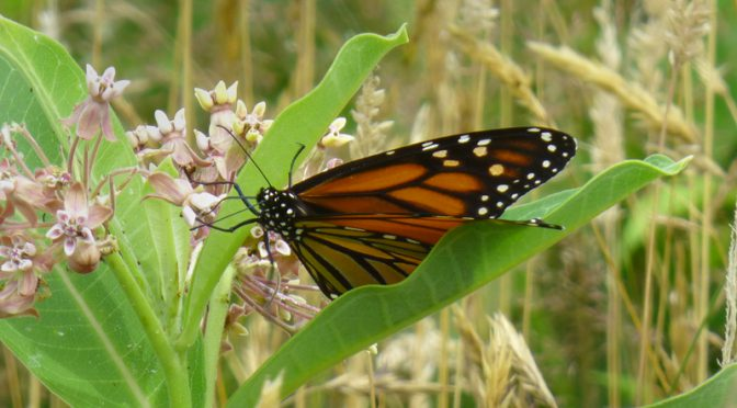 The Beautiful Monarch Butterflies Are Back On Cape Cod