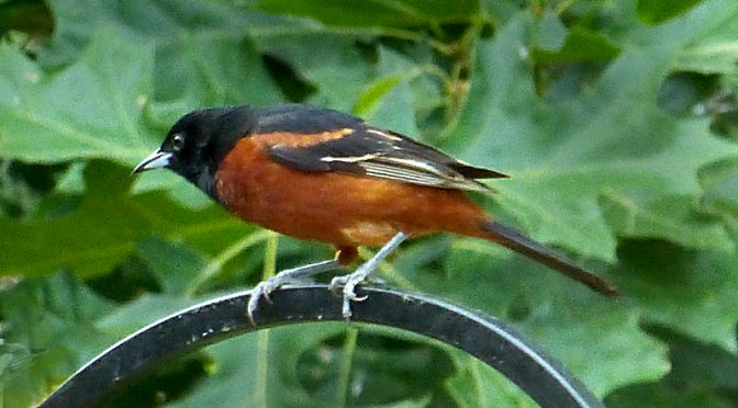 Beautiful Orchard Oriole At Our Home On Cape Cod
