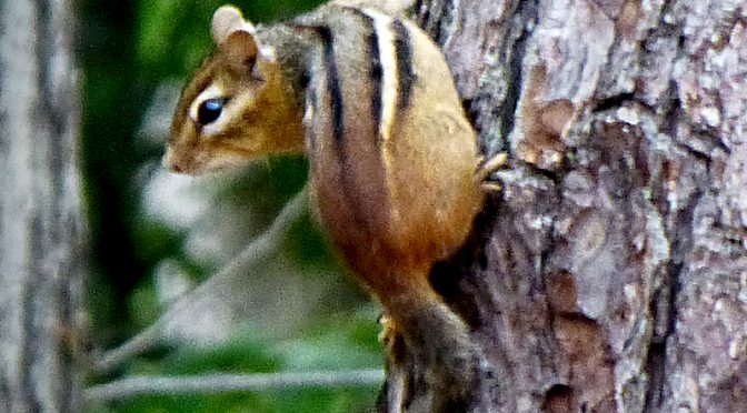 Little Chippy In A Tree On Cape Cod!