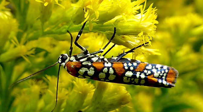 Colorful Ermine Moth Feasting On The Goldenrod On Cape Cod