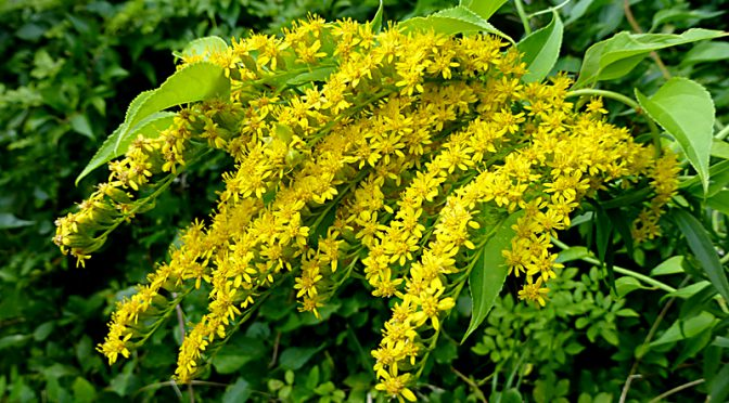 The Goldenrod Wildflowers Are Blooming All Over Cape Cod