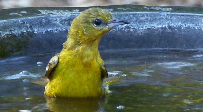 Cute Little Baby Goldfinch Taking A Bath In Our Yard On Cape Cod