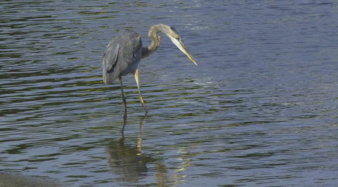 Great Blue Heron Fishing At Rock Harbor On Cape Cod