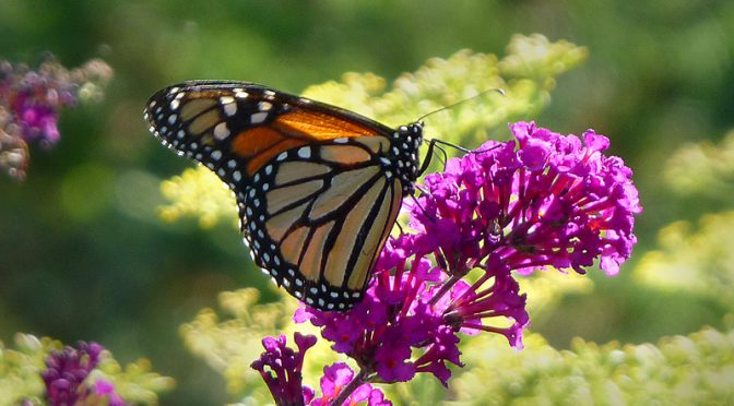 Gorgeous Monarch Butterfly At the Wellfleet Bay Wildlife Sanctuary On Cape Cod