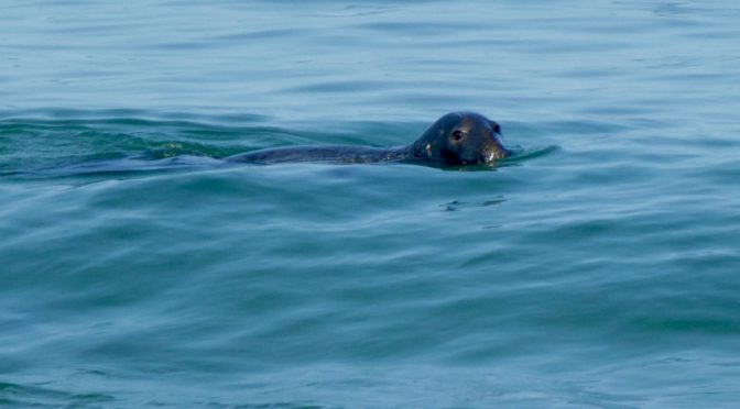 Lots Of Seals Along The Outer Beaches Of Cape Cod