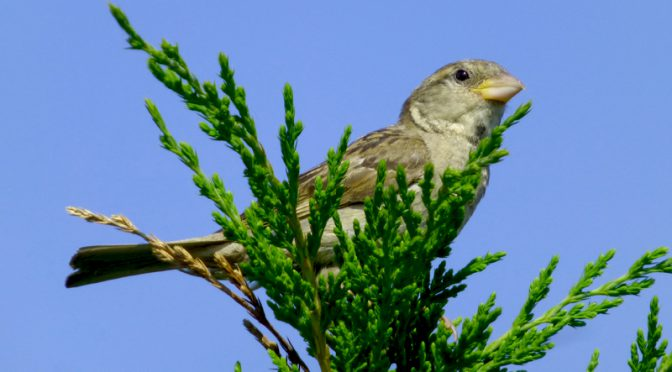 Song Sparrow At Coast Guard Beach On Cape Cod
