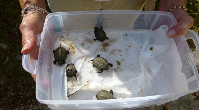 Baby Terrapin Turtles At The Wellfleet Bay Wildlife Sanctuary On Cape Cod
