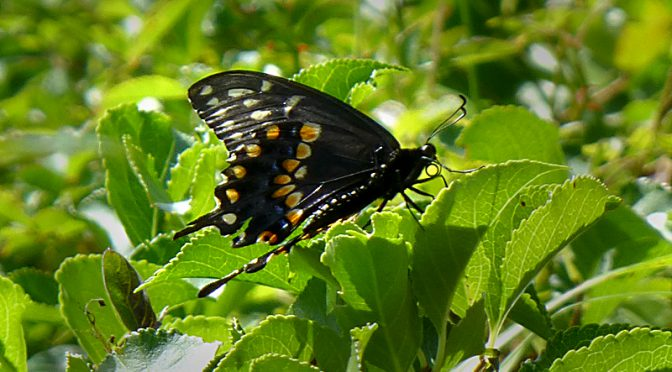 Gorgeous Black Swallowtail Butterfly At Fort Hill On Cape Cod