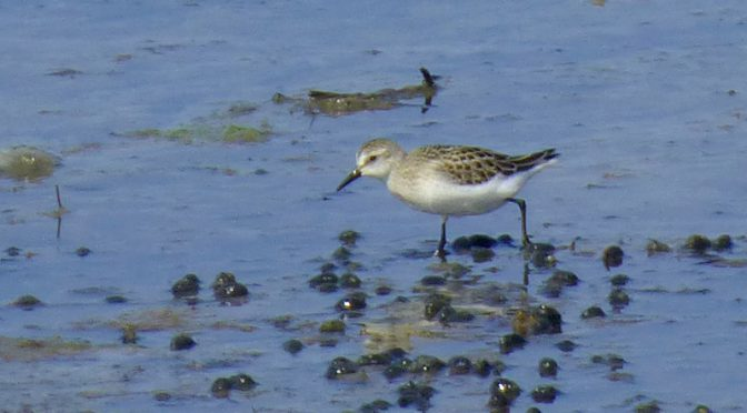 Juvenile Black-Bellied Plover In Wellfleet On Cape Cod