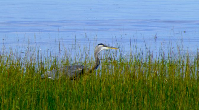Great Blue Heron Searching For Food At Rock Harbor On Cape Cod